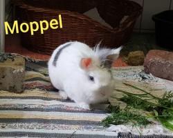 Moppel